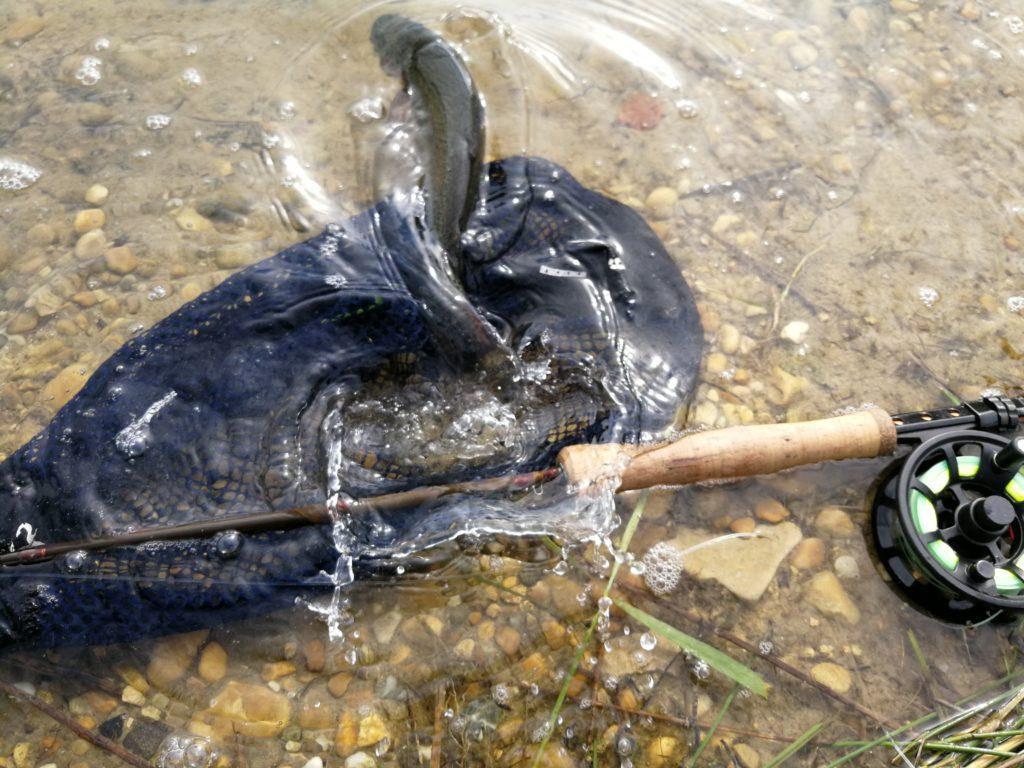 Truite arc-en-ciel relâchée, avec avoir été pêchée à la mouche sur les étangs de Vergèze