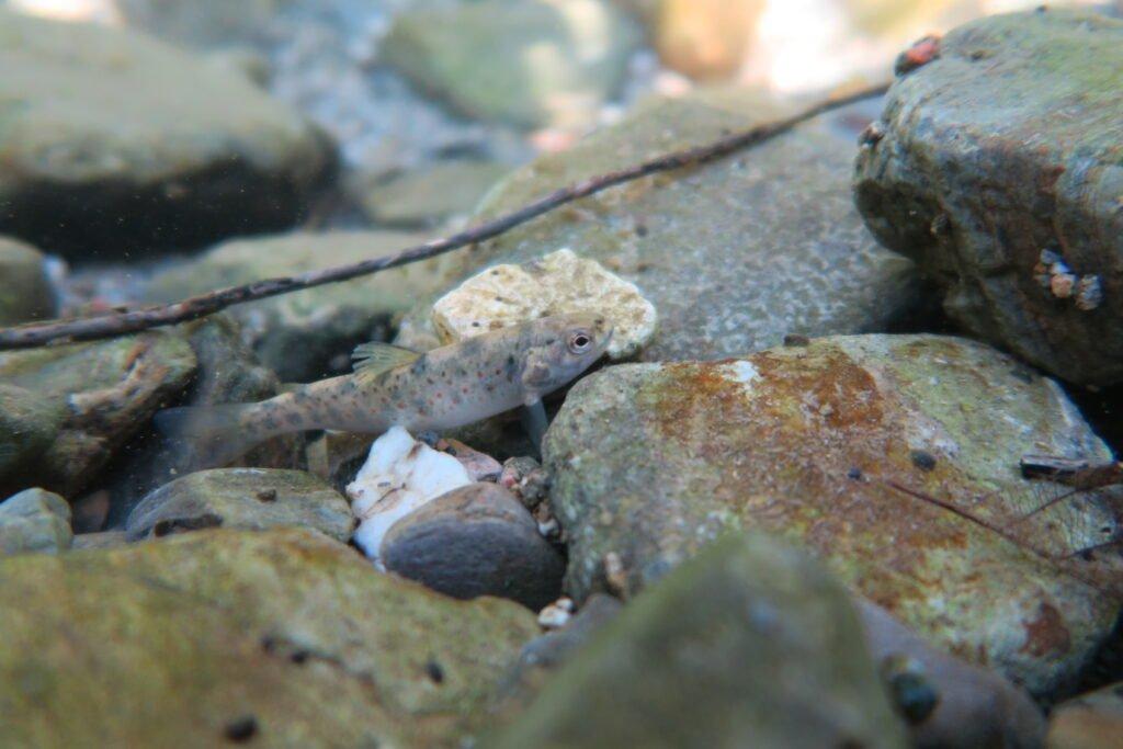 Période de reproduction des truites dans le Gard