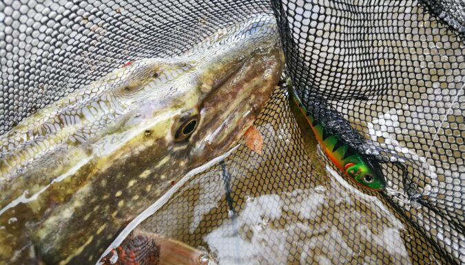 Brochet pris au poisson nageur sur le Vidourle
