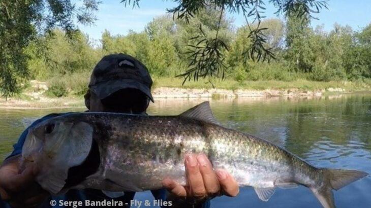 Pêche de l'alose dans le Gard
