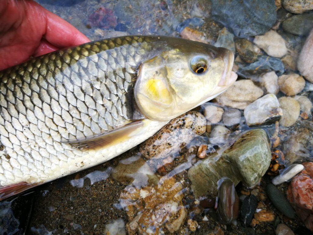Pêche du chub dans le Gard