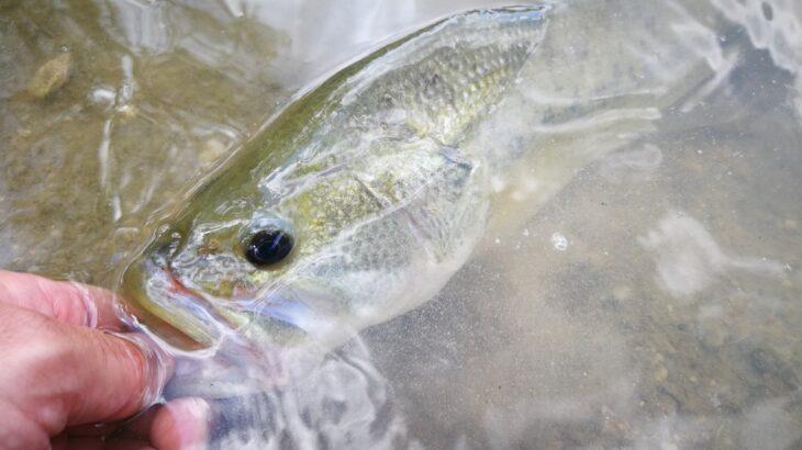 Techniques de pêche du black bass - Fédération de pêche du Gard